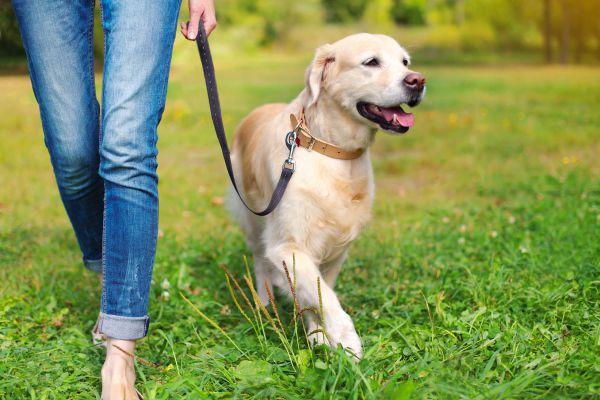 Erwachsene Hunde Unterwegs Dog Training